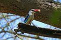 Woodland Kingfisher (Halcyon senegalensis) (17264436365).jpg