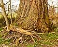 Wortels van een es (Fraxinus excelsior) om voet van een wilg (Salix). Locatie, Natuurterrein De Famberhorst 01.jpg