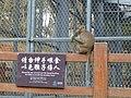Wuhan - Chuidi - Houshan - monkeys - P1520749.JPG
