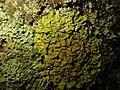 Xanthoria parietina 110184426.jpg