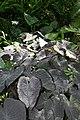 Xanthosoma sagittifolium 8zz.jpg