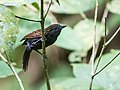Xenornis setifrons - Spiny-faced Antshrike.jpg