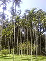 Xishuangbanna.cocotiers.jpg