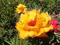 Yellow-Moss-Roses DSCF1998-480x360 (4791450111).jpg