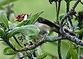 Yellow-billed Cardinal (38037086611).jpg