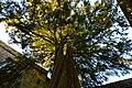 Yew Tree - Flickr - rustyruth1959.jpg