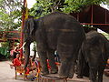 Young elephant at Ayutthaya Elephant Camp.JPG