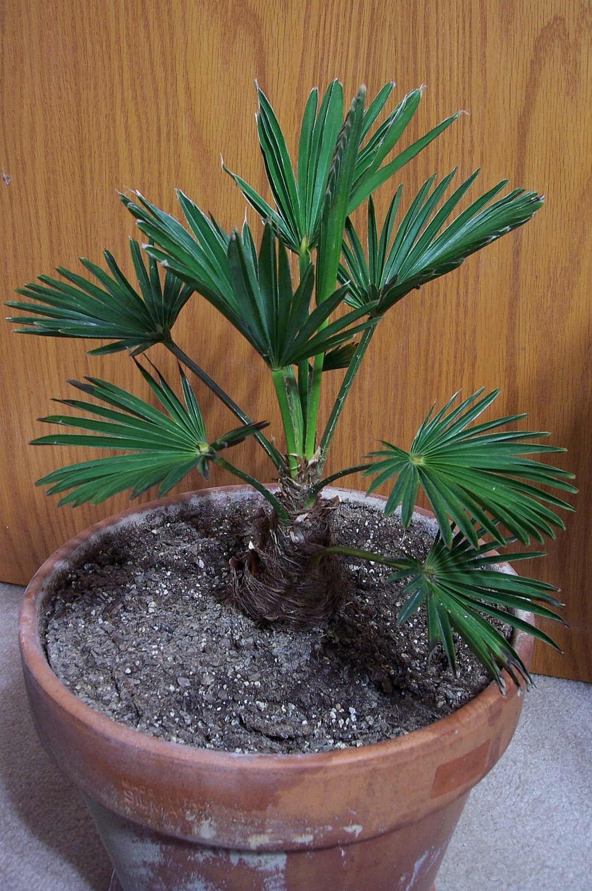 trachycarpus fortunei 39 wagnerianus 39 wikipedia. Black Bedroom Furniture Sets. Home Design Ideas