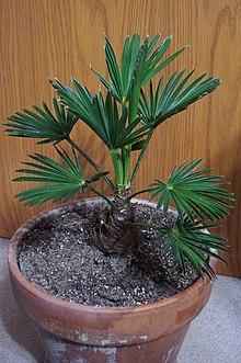 Trachycarpus wagnerianus Seedling
