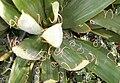 Yucca filamentosa detail.jpg