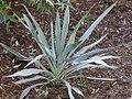 Yucca pallida.jpg