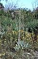 Yucca pallida fh 1178.17 TX B.jpg