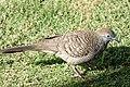 Zebra dove (26412440859).jpg