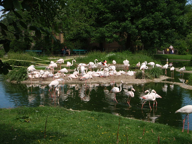 ଫାଇଲ:Zoo Basel flamingos breeding.JPG