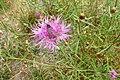 Zygaena carniolica sur une fleur.jpg