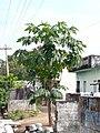 """papaya tree with branches.jpg"