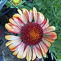 'Arizona Red Shades' gaillardia IMG 1751.jpg