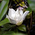 'Goliath' Magnolia grandiflora flower at Goodnestone Park Kent England 3.jpg