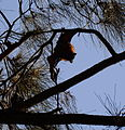 (1)Bats Centennial Park 033.jpg