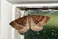 (1745) The Mallow (Larentia clavaria) (3940512748).jpg