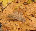 (1923) Feathered Thorn (Colotois pennaria) (37832097531).jpg