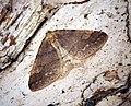 (1934) Dotted Border (Agriopis marginaria) (32941386171).jpg