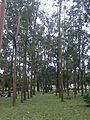 Árboles en la Sabana - panoramio.jpg