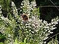 Λεπιδόπτερο σε ρείκι, Natura SCI SPA Παλαιοχώρι Παγγαίου 18-4-17.jpg