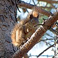 Белка обыкновенная - Sciurus vulgaris - Eurasian Red Squirrel - Обикновена катерица - Eichhörnchen (32397674724).jpg