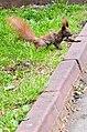 Білка полює за горіхами у парку Чекмана.jpg