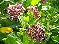 Ваточник сирійський (Asclepias syriaca) - інвазійна рослина-медонос. Черкаська обл.jpg