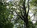 Вид снизу на дуб.jpg