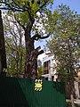 Віковий дуб на Бажанова 11.jpg