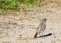 Горихвостка-чернушка - Phoenicurus ochruros - Black redstart - Домашна червеноопашка - Hausrotschwanz (33680487846).jpg