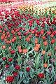 Елагин парк, фестиваль тюльпанов4444.jpg