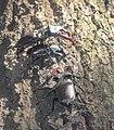 Жуки-олені розмноження та годівля 04.jpg