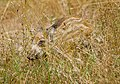 Кабан - Sus scrofa - Wild boar - Дива свиня - Wildschwein (35117548754).jpg