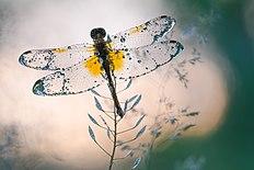 Кришталеві крила.jpg