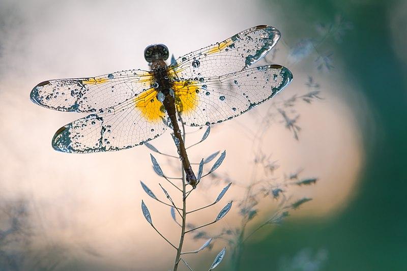 File:Кришталеві крила.jpg