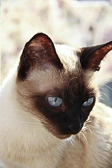 тайские кошки википедия