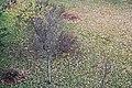Царникава (Латвия) Газон с осенней листвой - panoramio.jpg