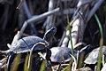 Черепахи в Олександрії.jpg