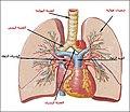 الجهاز التنفسي - أعضاء التنفس لدى الإنسان-الشعيبات الهوائية.jpg