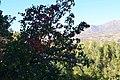 جاده پیرانشهر - سردشت گلابی وحشی - panoramio.jpg