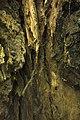 داخل درخت گردو - juglans 06.jpg