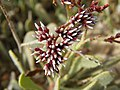 زهور فى قلب الصحراء - panoramio - youssef alam (1).jpg