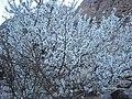 شجر اللوز من داخل وادي الاربعين بجنوب سيناء.JPG
