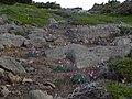 コマクサの群生 - panoramio.jpg