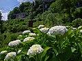 七曲りのあじさい 吉野山にて 2013.6.17 - panoramio (1).jpg