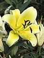 東方喇叭雜交百合 Lilium Serano -廣州冠勝農業公園 Guangzhou, China- (45238748722).jpg